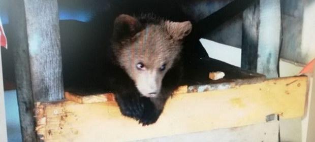 """Pui de urs, ținut în captivitate de un bărbat din Borșa. Ministrul Mediului spune că este """"un act de cruzime"""""""